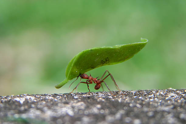 leaf cutter ant - efficiency stock photos and pictures