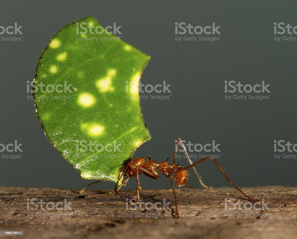 Leaf cutter ant stock photo