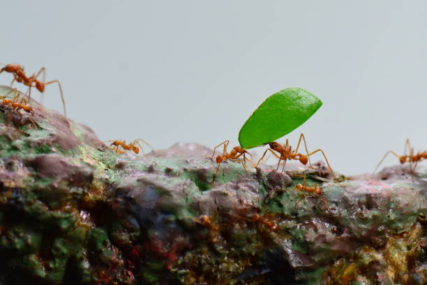Leaf cutter ant A  leaf cutter ant carries a leaf along the trail symbiotic relationship stock pictures, royalty-free photos & images