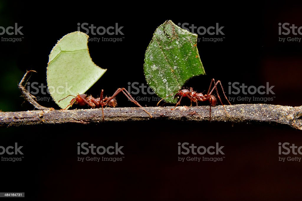 Leaf cutter ants, carrying leaf, black background. stock photo