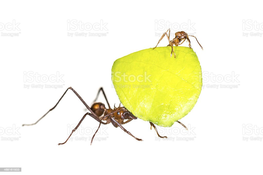 Leaf cutter ants on white background stock photo