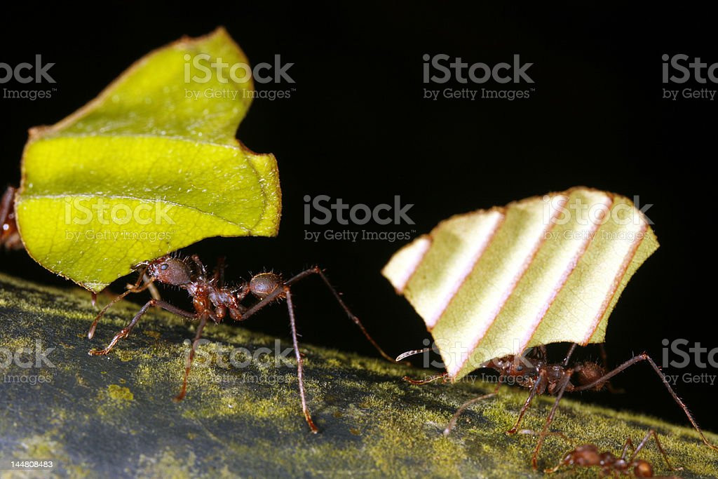 leaf cutter ants stock photo