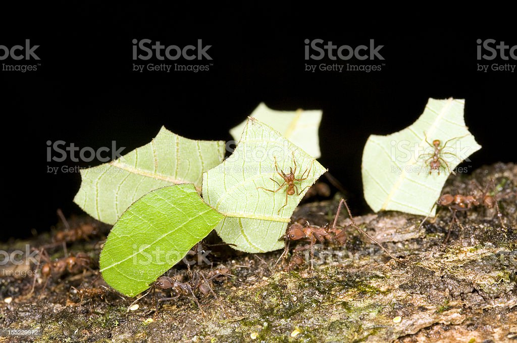 Leaf cutter ants (Atta sp.) stock photo
