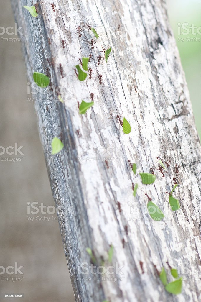 Leaf Cutter Ants royalty-free stock photo