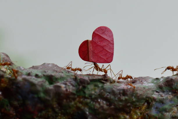 Leaf cutter ants Leaf cutter ants carry leaves to their final destination and then back again for another one. ant stock pictures, royalty-free photos & images