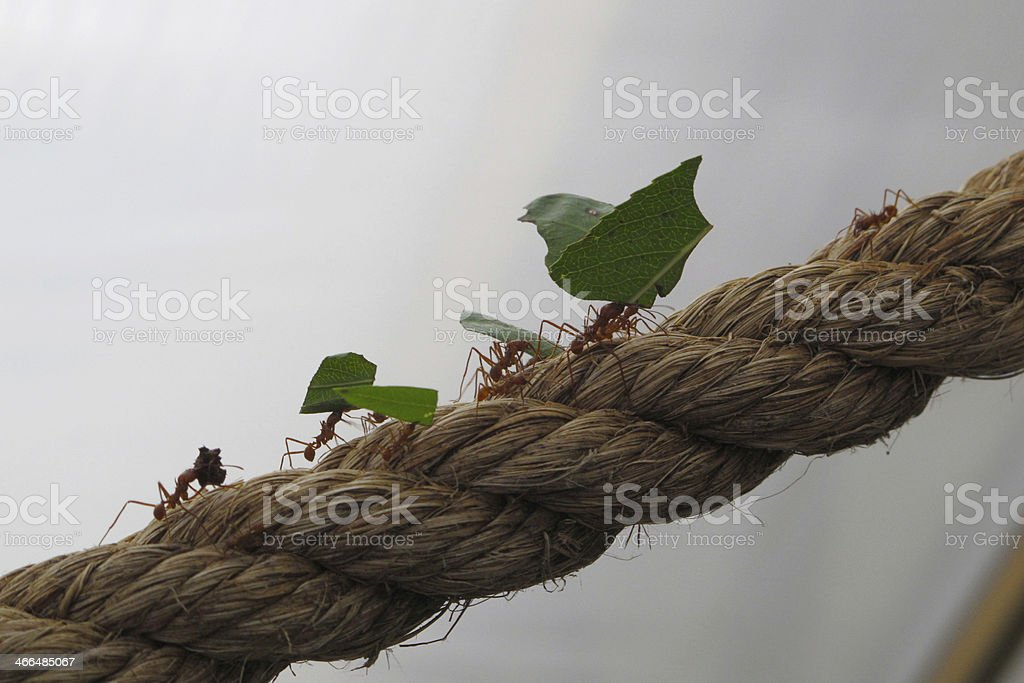 Leaf Cutter Ants walking on a rope stock photo