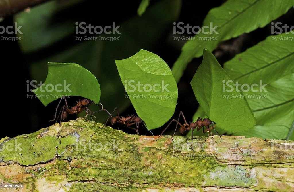 leaf cutter ants working together stock photo