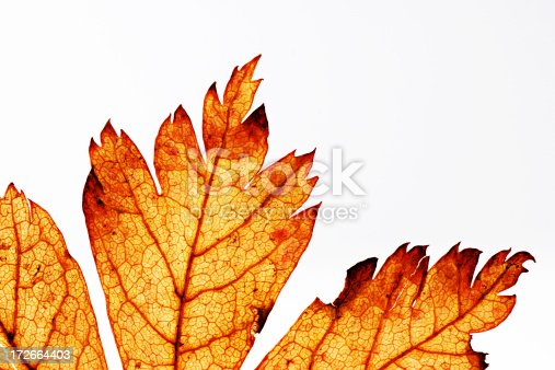 Macro picture showing the detail of an old dried out leaf.  The desiccated leaves have the look of flames.You can more images like this in my