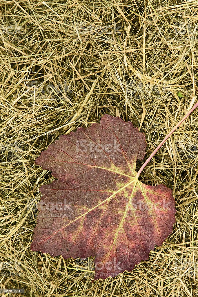Leaf fall in the Lambrusco vineyard royalty-free stock photo