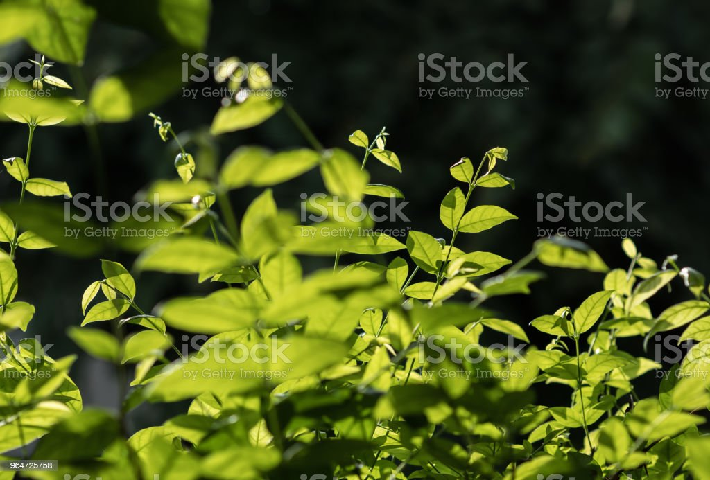 Leaf green royalty-free stock photo