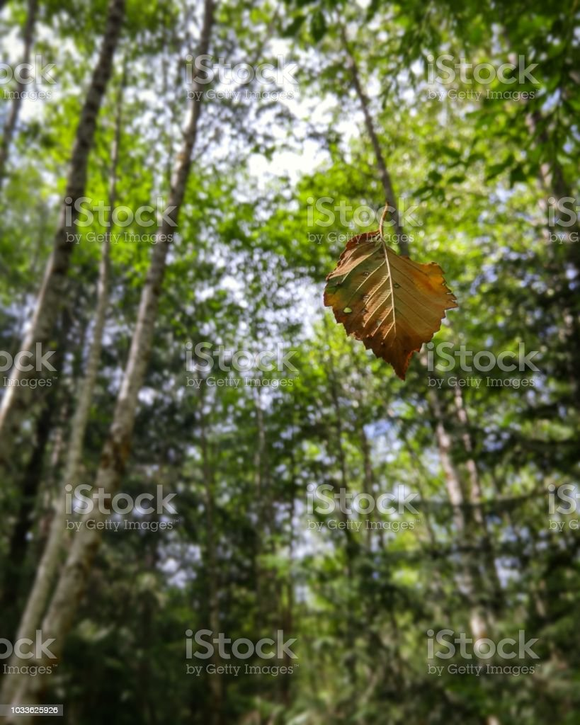 A leaf hangs in the air amongst the trees of a late summer forest stock photo