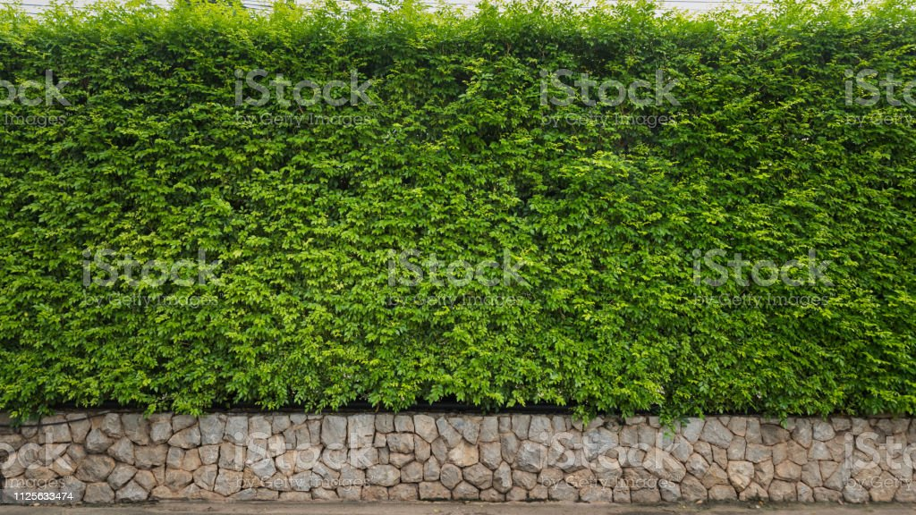 Leaf hedge wall for nature background or backdrop, Tiny leaf hedge...
