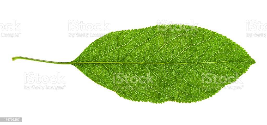 Leaf herbal royalty-free stock photo
