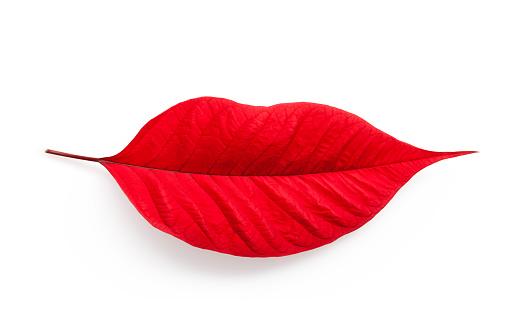 ✓ Imagen de Hoja en forma de labios de la mujer. Hoja de Nochebuena sobre  fondo blanco. Fotografía de Stock