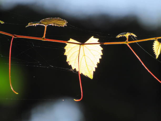 leaf in sunlight - dianna dann narciso stock pictures, royalty-free photos & images