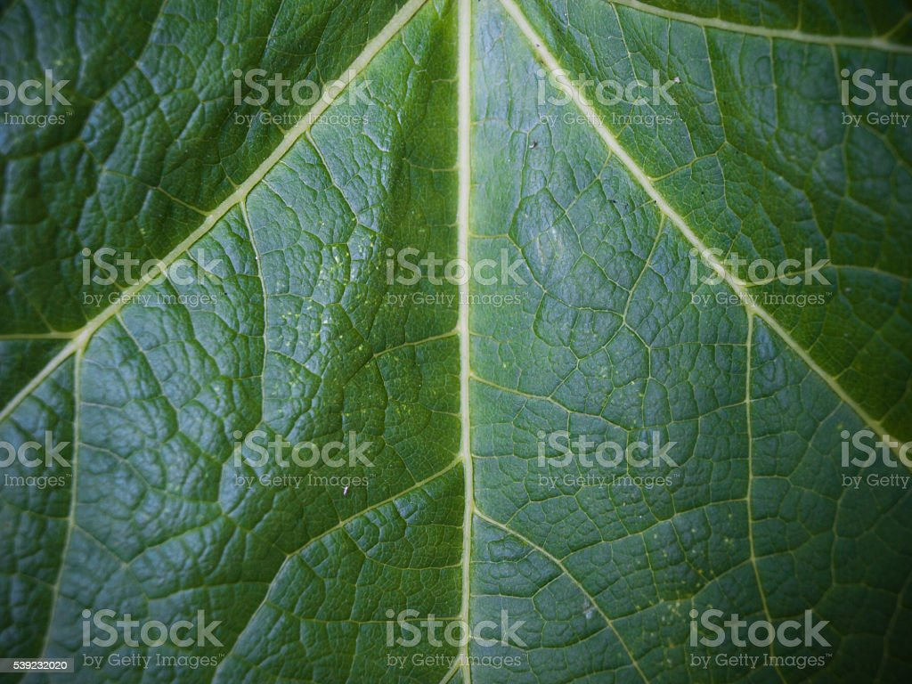 Leaf in the sun royalty-free stock photo