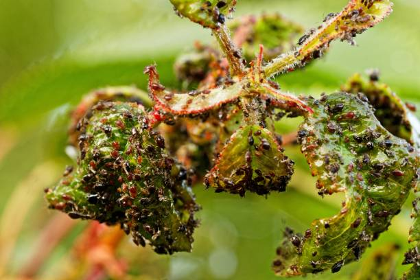 Leaf infestation on the cherry tree Kirschbaum mit Blattläusen aphid stock pictures, royalty-free photos & images