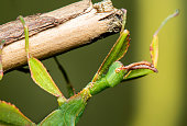 green leaf insect hanging upside down on a twig