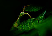 green leaf insect hiding in leaves on a black background