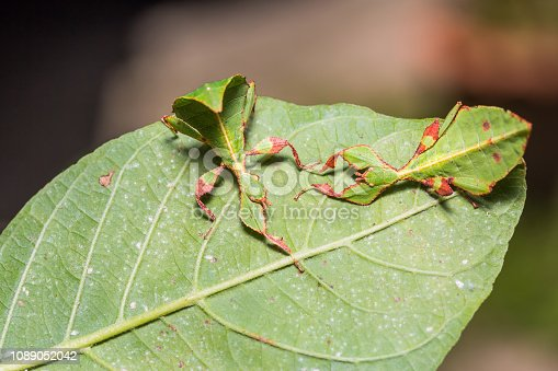 Close up of middle instar leaf insects (Phyllium westwoodi) on their host plant leaf
