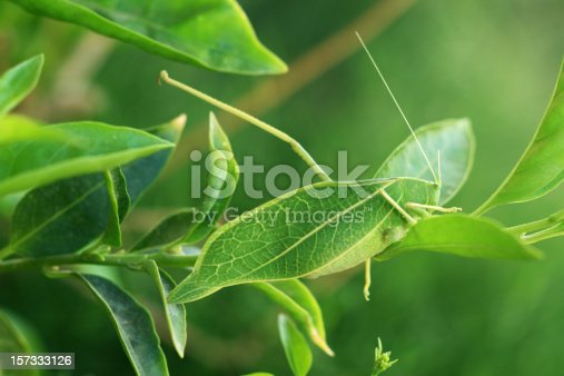 Naturally Camouflaged leaf Insect.