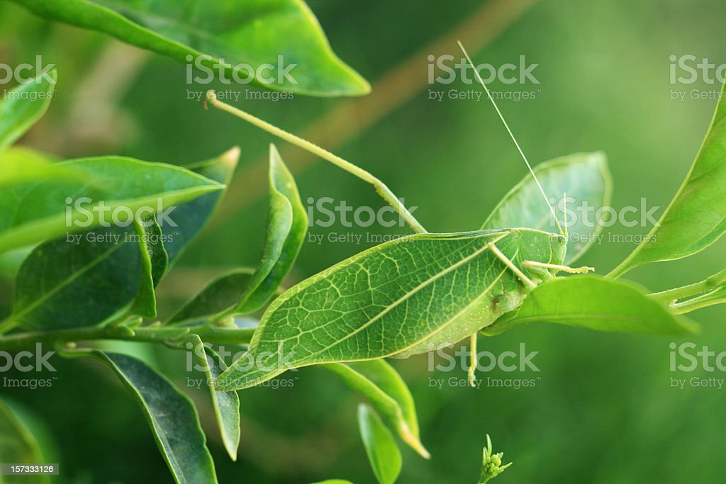 Leaf Insect stock photo
