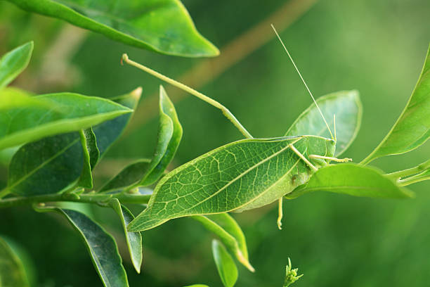 Leaf Insect Naturally Camouflaged leaf Insect. camouflage stock pictures, royalty-free photos & images