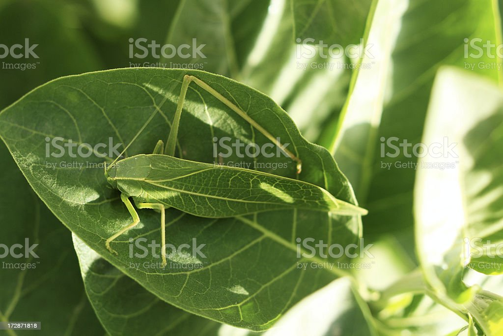 Leaf Insect royalty-free stock photo