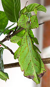 leaf insect (or walking leaf) the most remarkably camouflaged leaf mimics in the entire animal kingdom