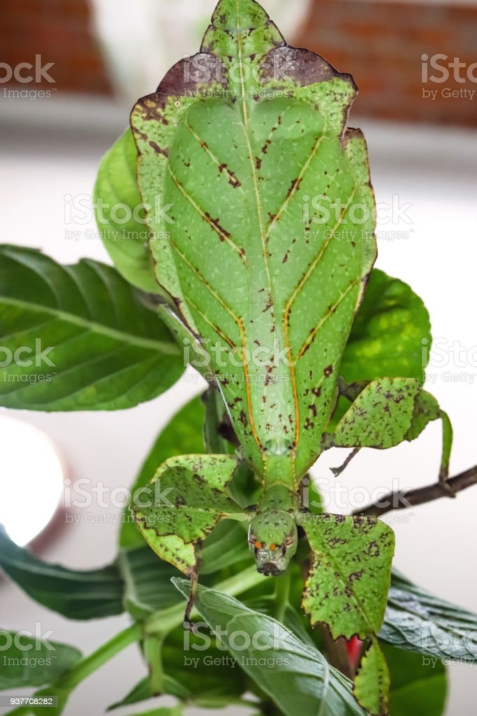 leaf insect the most remarkably camouflaged leaf mimics in animal kingdom stock photo