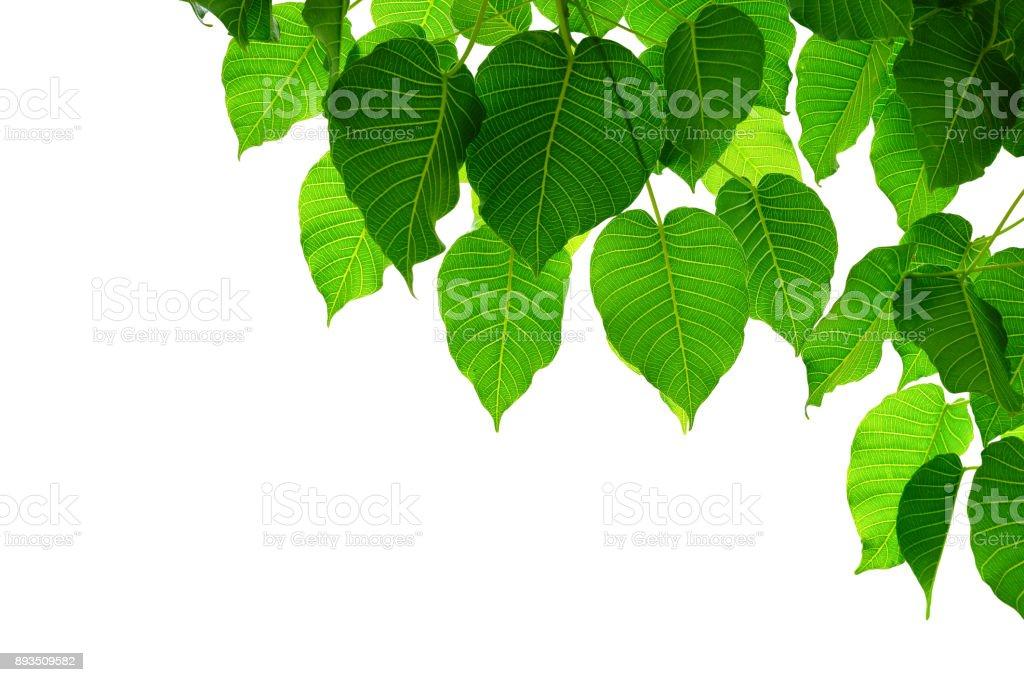 leaf isolated on white stock photo