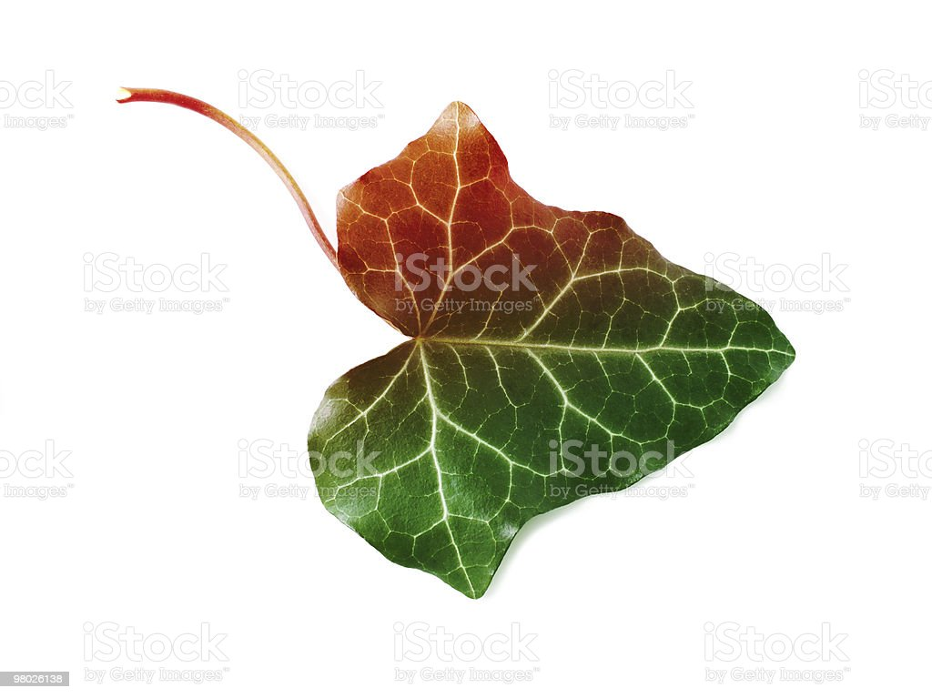 leaf isolated royalty-free stock photo
