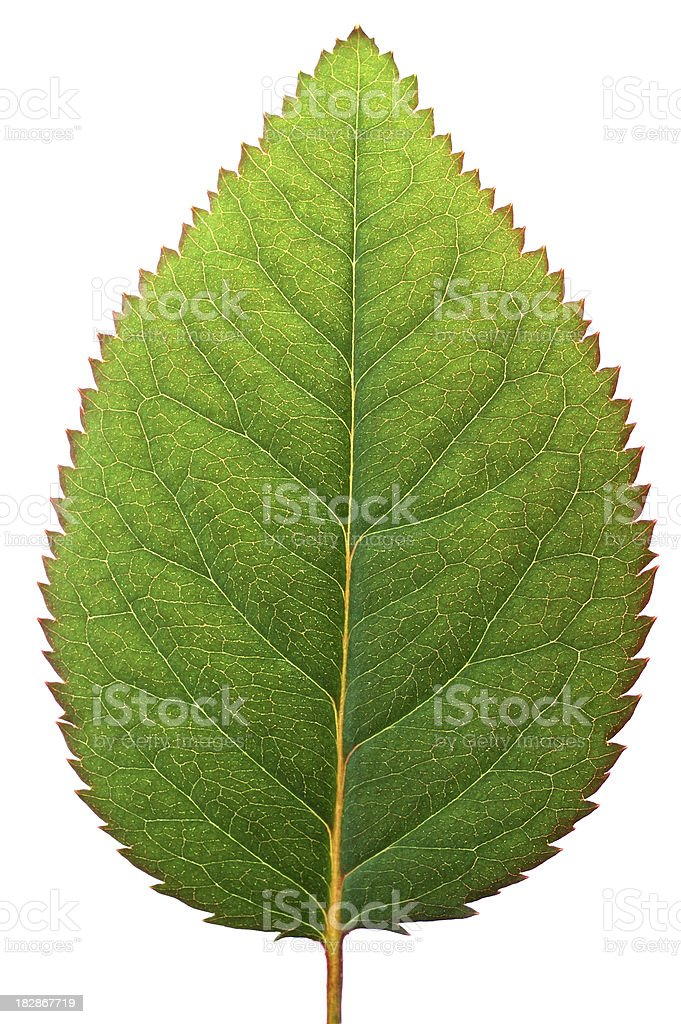 Leaf Macro royalty-free stock photo