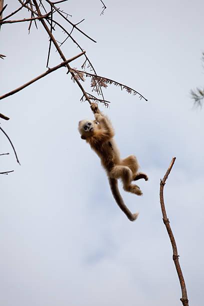 leaf monkey stock photo