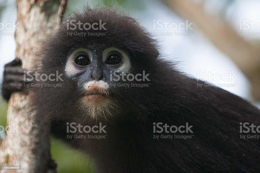 Leaf Monkey stock photo