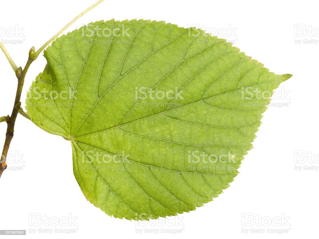 Leaf of a Lime-tree royalty-free stock photo