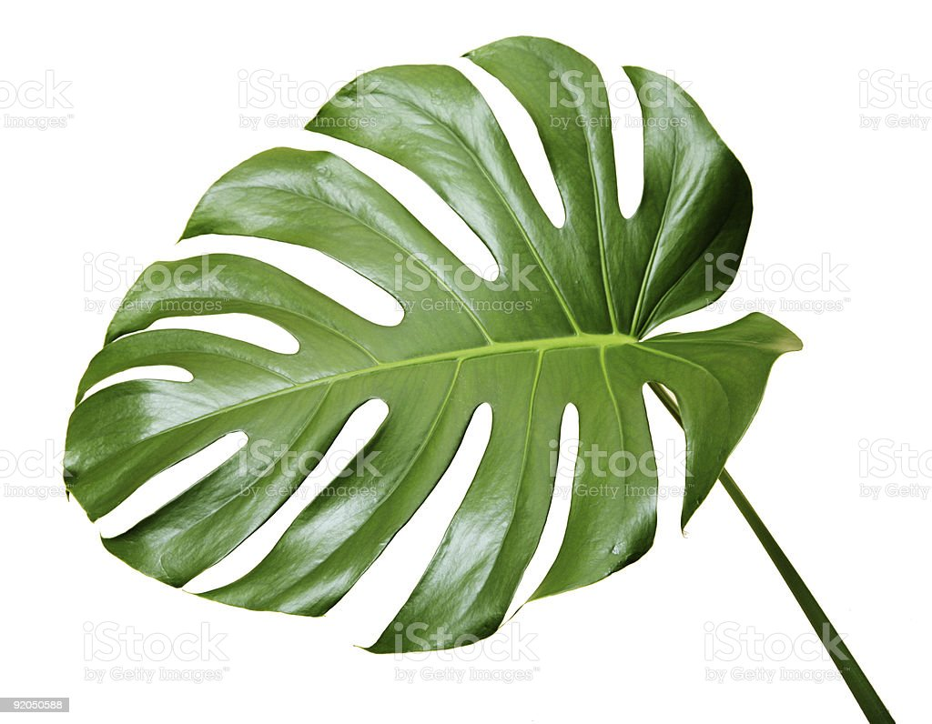 Leaf of a monstera stock photo