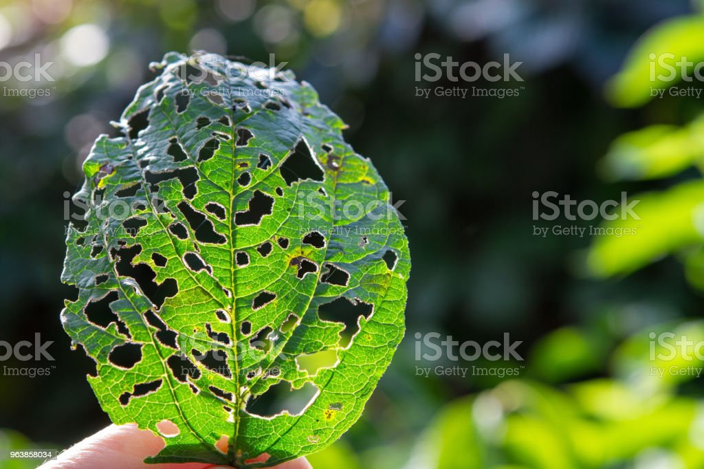 A leaf of a tree is eaten by a caterpillar on a white background - Royalty-free Close-up Stock Photo