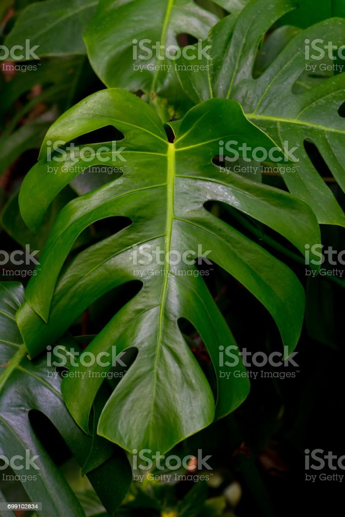 Leaf of a tropical plant monsters stock photo