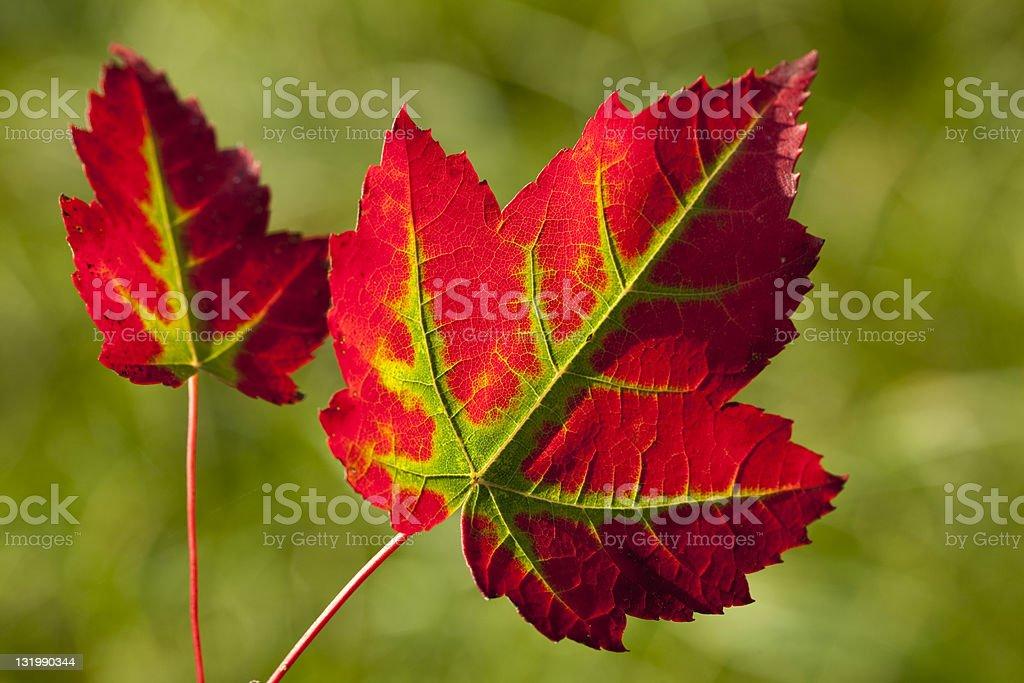 leaf of autumn royalty-free stock photo
