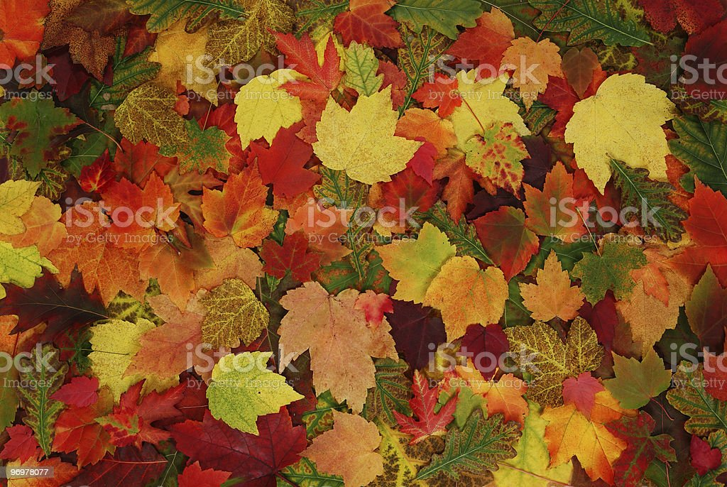leaf of autumn royalty-free stock photo
