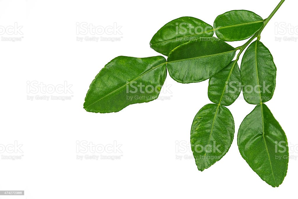 Leaf of bergamot. stock photo