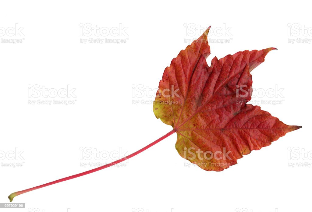 Leaf of Boston Ivy in autumn, upper surface stock photo