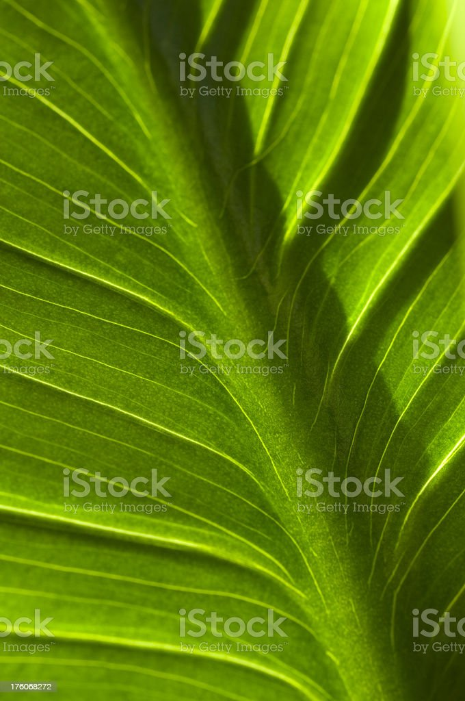 Leaf of Calla Lily royalty-free stock photo