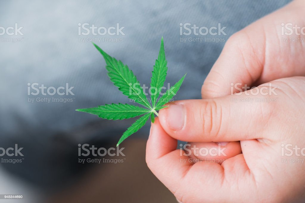 Leaf of cannabis in the hands of a kid child . medicinal marihuna using concepts for purposes for children, Medical use of non-psychoactive cannabidiol CBD stock photo