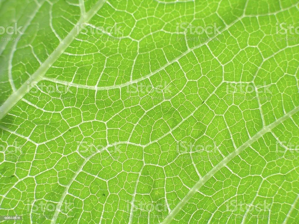 leaf of cymbling in locking light royalty-free stock photo