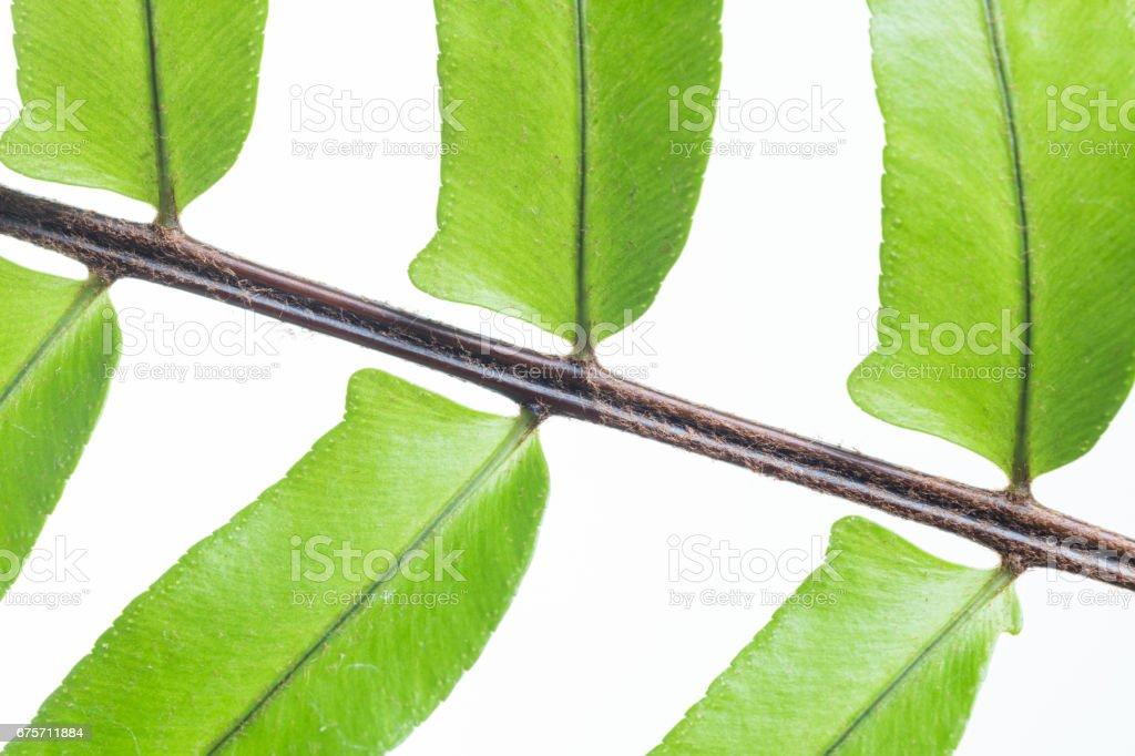 蕨類植物查出的葉子 免版稅 stock photo