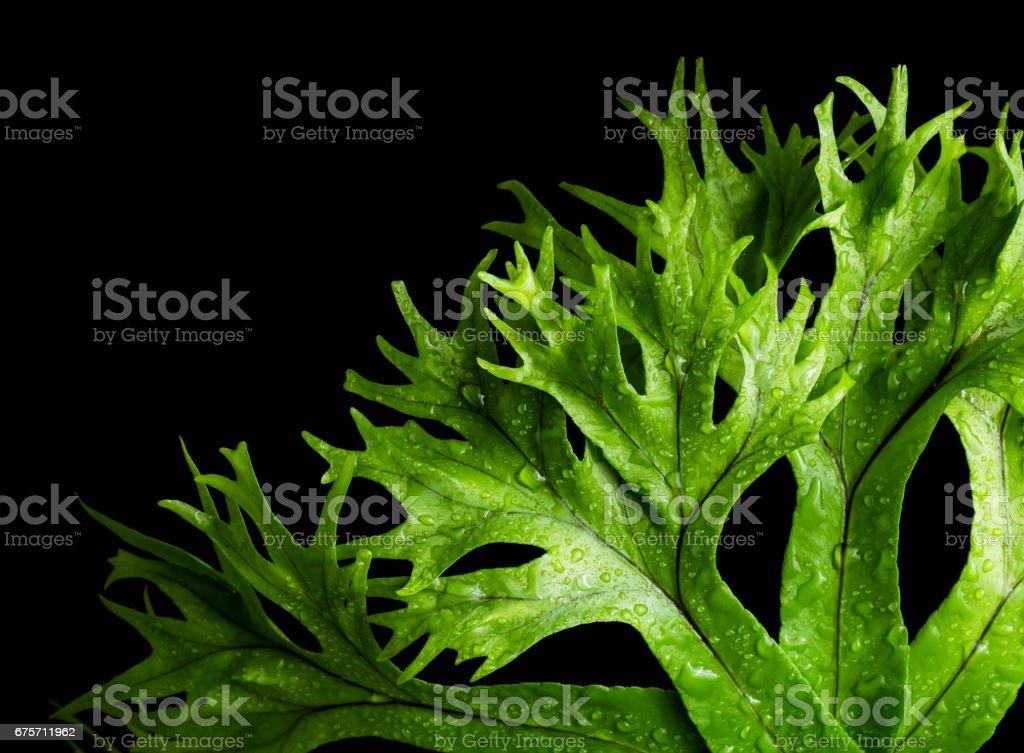 leaf of fern isolated 免版稅 stock photo