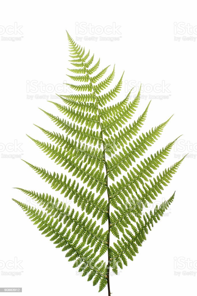 Leaf of fern on a white royalty-free stock photo