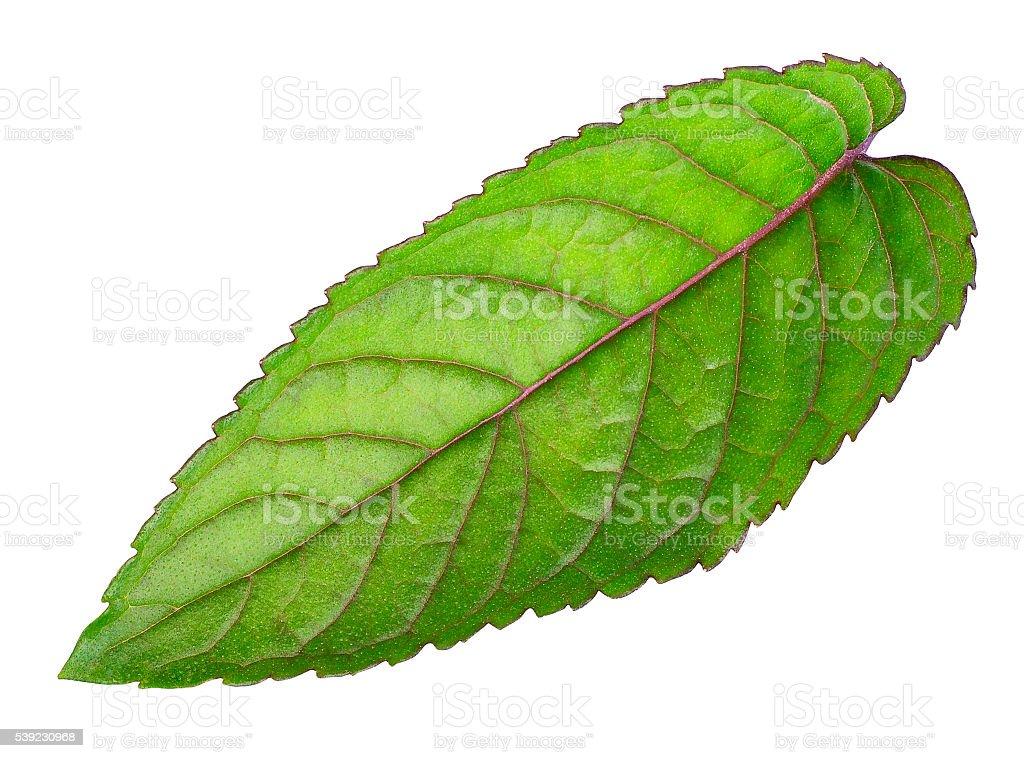 leaf of fresh mint isolated on white background royalty-free stock photo